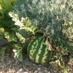 Photo of watermelon growing in the communal bed.