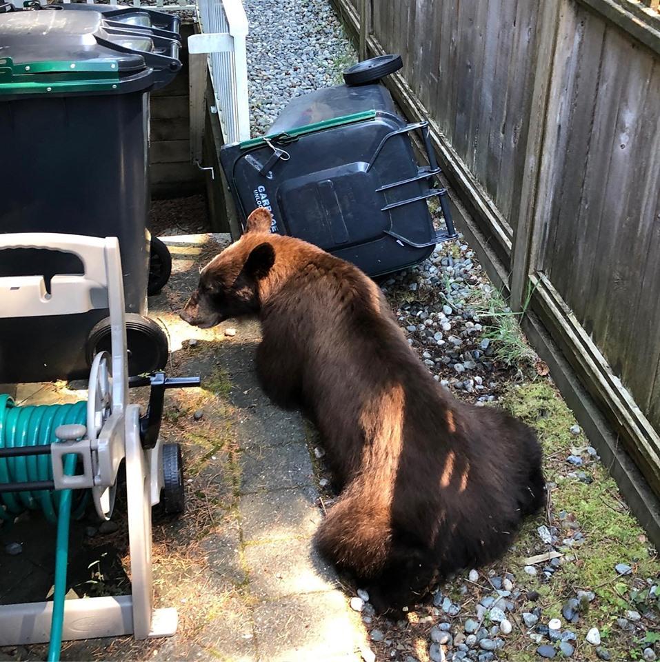 https://i0.wp.com/www.northshoredailypost.com/wp-content/uploads/2019/07/black-bear-Lynn.jpg?fit=957%2C960&ssl=1