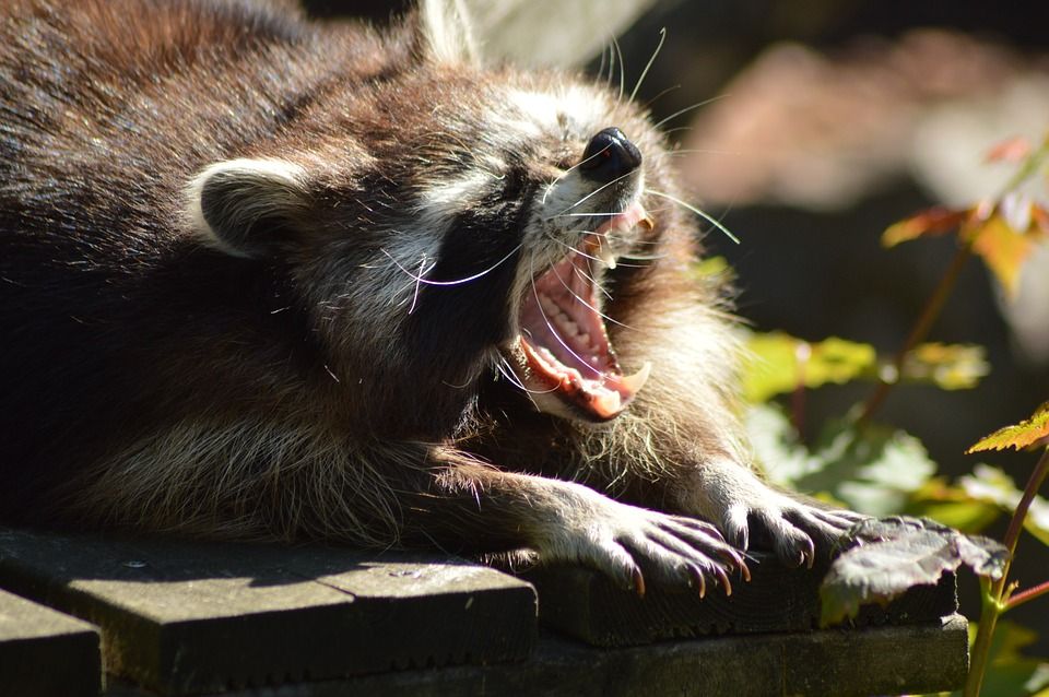 https://i0.wp.com/www.northshoredailypost.com/wp-content/uploads/2019/08/raccoon.jpg?fit=960%2C638&ssl=1