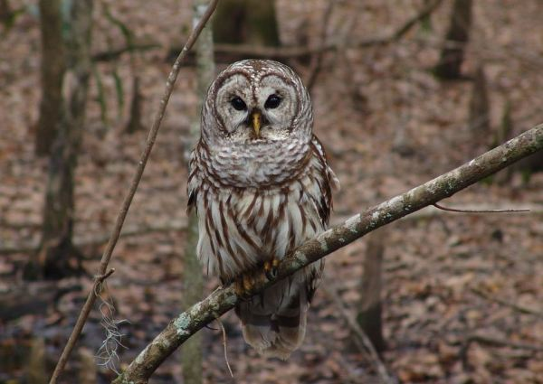 https://i0.wp.com/www.northshoredailypost.com/wp-content/uploads/2019/10/Barred-owl-whistler-trail.jpg?fit=600%2C425&ssl=1