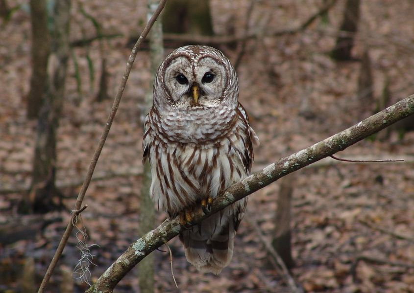 https://i0.wp.com/www.northshoredailypost.com/wp-content/uploads/2019/10/Barred-owl-whistler-trail.jpg?fit=845%2C599&ssl=1