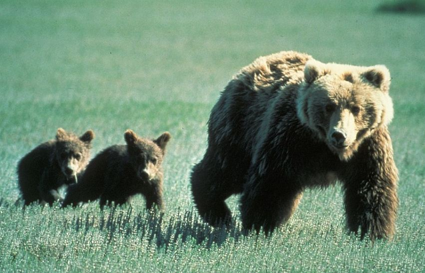 https://i0.wp.com/www.northshoredailypost.com/wp-content/uploads/2019/10/grizzly-bears.jpg?fit=851%2C547&ssl=1