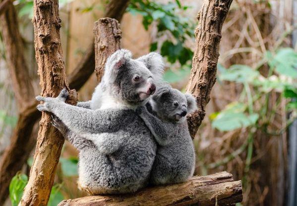 https://i0.wp.com/www.northshoredailypost.com/wp-content/uploads/2020/02/Koalas.jpg?fit=600%2C417&ssl=1