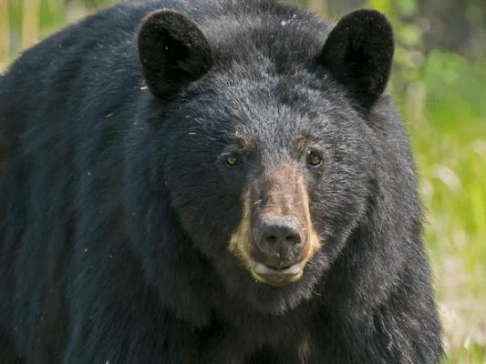 https://i0.wp.com/www.northshoredailypost.com/wp-content/uploads/2020/06/bear-female.png?fit=533%2C400&ssl=1
