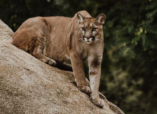 https://i0.wp.com/www.northshoredailypost.com/wp-content/uploads/2020/09/cougar.jpg?fit=509%2C371&ssl=1
