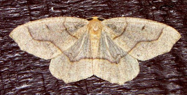 https://i0.wp.com/www.northshoredailypost.com/wp-content/uploads/2021/08/looper-moth.jpg?fit=600%2C304&ssl=1