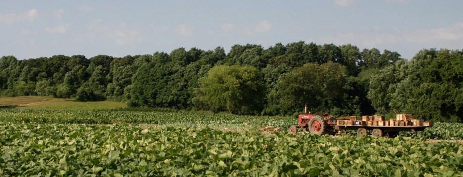 Banfi Fields - Farmer's harvesting the crop