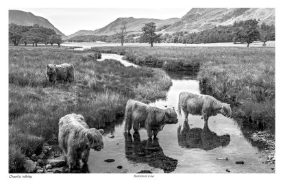 Buttermere Cows