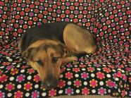 Holly is a two year old GSD mix