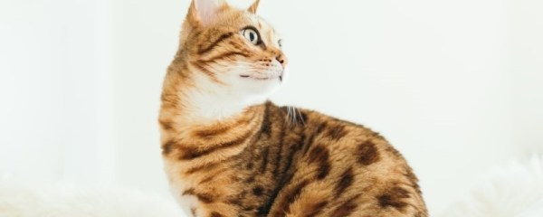 ACHOO! Cat Breeds for Allergy Sufferers