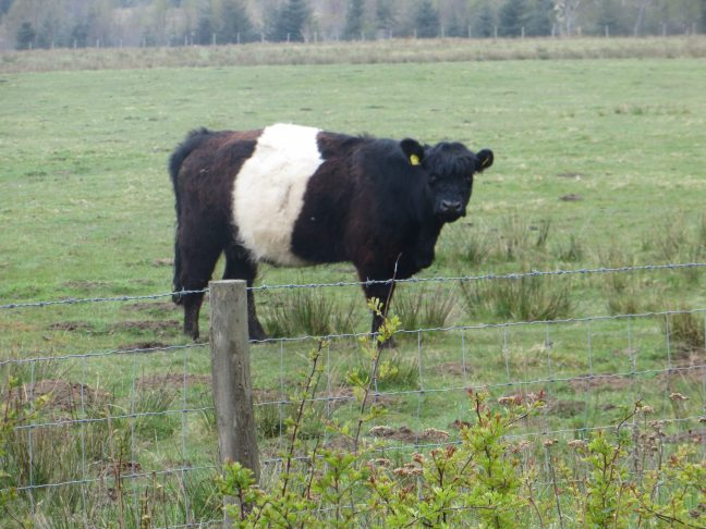 A rare breed Belted Galloway cow on Donkin Rigg.
