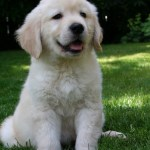 About Northwest Goldens Breeder Of Golden Retrievers