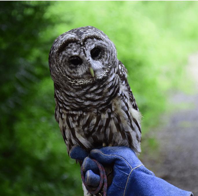 Oberon the Owl, Photo by Jack Markoski