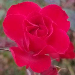 Fairy rose in November