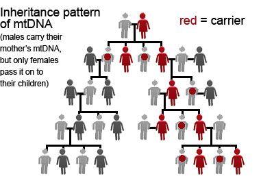 Maternal line mtDNA