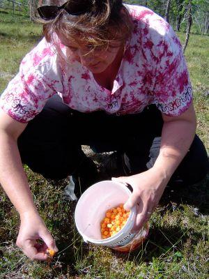 Heidi carefully picks ripe multe to store for the upcoming winter. Photo: Heidi Håvan Grosch