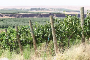 The 7.5-acre Tasawik Vineyards sits on a bluff overlooking the confluence of the Snake and Columbia Vineyards.