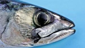 Fatty fish? No thanks. Photo: Sara Johannessen / Scanpix