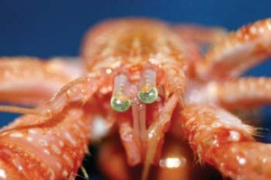 Biotechnology makes use of microorganisms, plant and animal cells to produce medicines or for other technical use. Pictured here is Pagurus sp. (hermit crab). ©Robert A. Johansen, Marbank