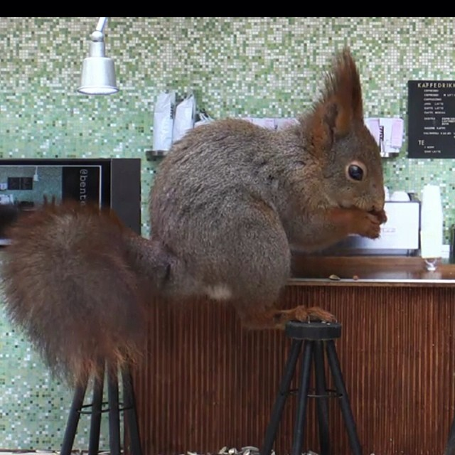 "Photo courtesy of NRK.no The ""coffee bar"" is even popular among squirrels!"
