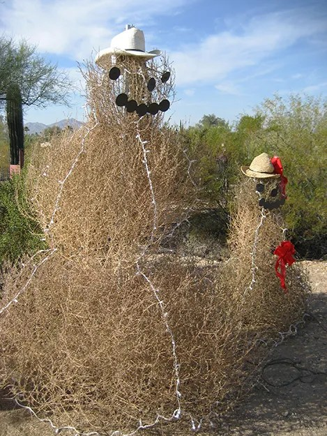 Photo: Chanel Wheeler / Wikimedia Commons Tumbleweeds still know how to have fun.