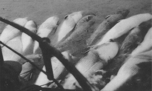 Photo courtesy of Harald Hansen Hunted whales are tied alongside a boat awaiting processing.
