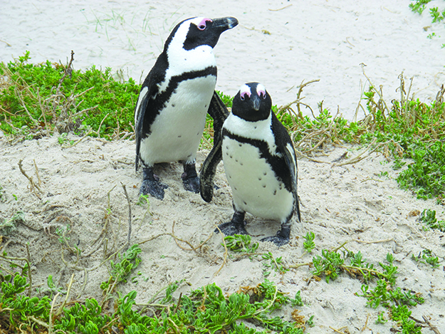 Photo: Thor A. Larsen A pair of South Africa's famous  jackass penguins.