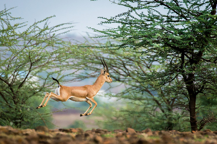 A leaping gazelle representing the quick growth of Addovation
