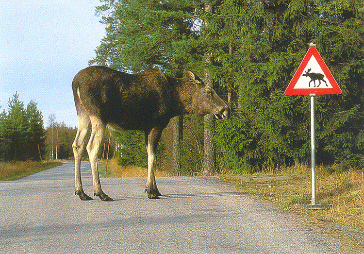 postcard of a moose on a road