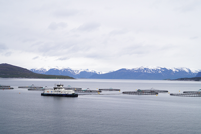 Is farmed salmon safe and healthy? - The Norwegian American
