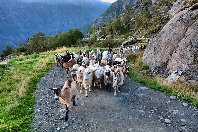 goats in Flåm