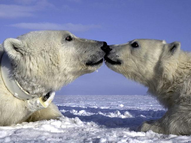 polar bear aqua bear
