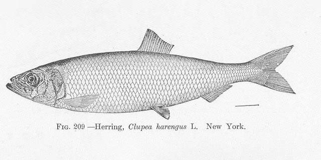 Atlantic Herring