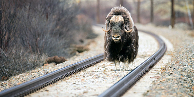 A musk ox stands on the Dovre rail line