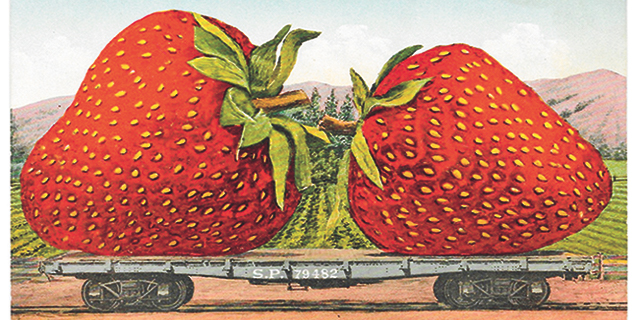Two large strawberries drawn from a new book by Håvard Mossige