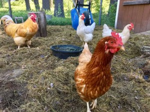 photo-of-chickens