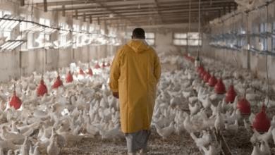 بورصة الدواجن الرئيسية اليوم 26 يناير 2021 وأسعار اللحوم البيضاء