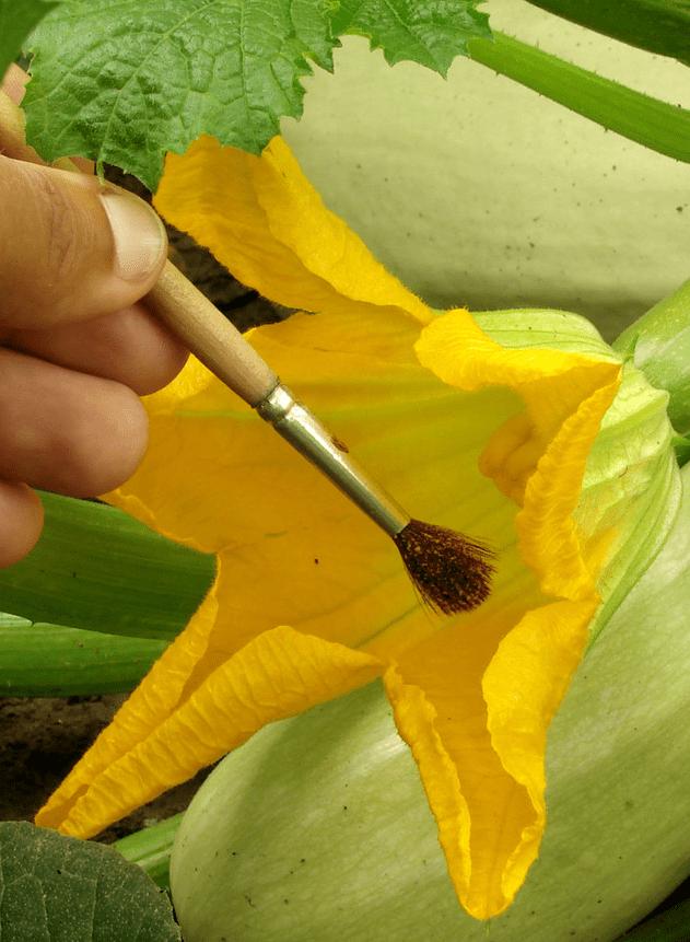 pollination brush method