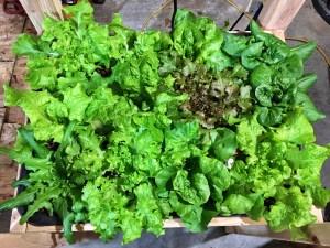 hydroponic lettuce 4 weeks