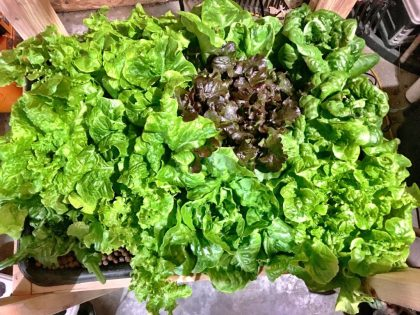 Hydroponic lettuce ready for harvest.