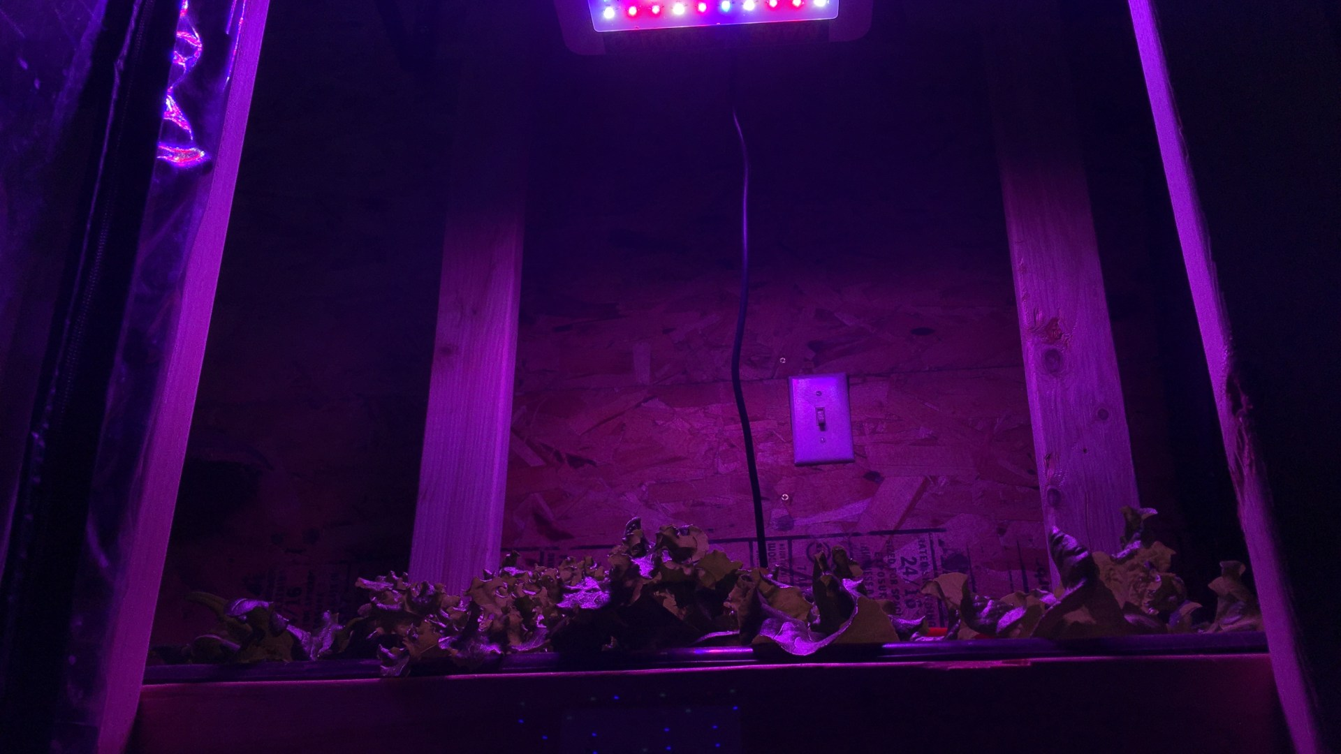 Hydroponic lettuce under LED grow light