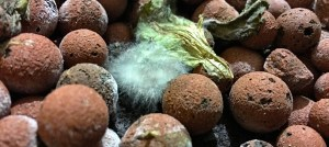Gray Mold (Botrytis) In Your Hydroponic Garden