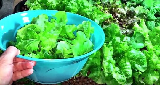 Cut And Come Again Hydroponic Lettuce Harvesting