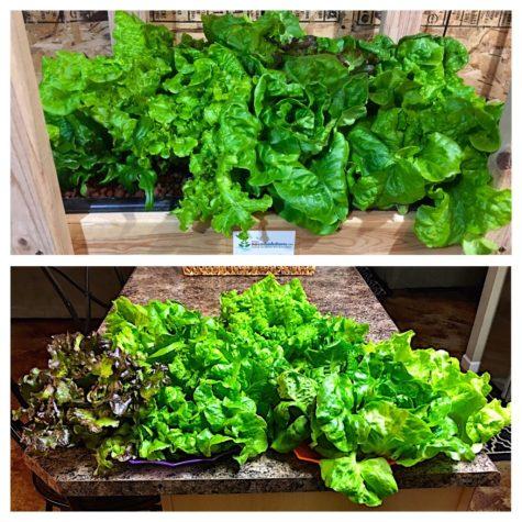 Hydroponic lettuce grown using Dyna Gro Foliage-Pro Hydroponic Nutrient