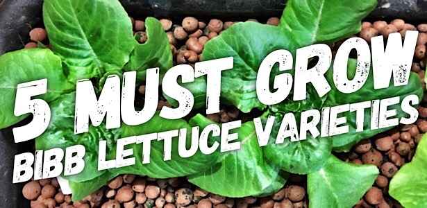 5 Bibb Lettuce Varieties You Need To Grow Using Hydroponics