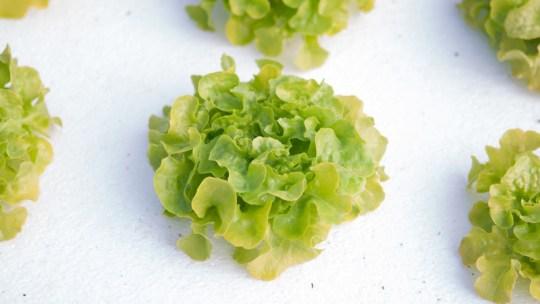 Hydroponic lettuce kratky method