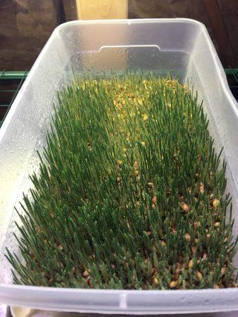 Hydroponic fodder grown from barley.
