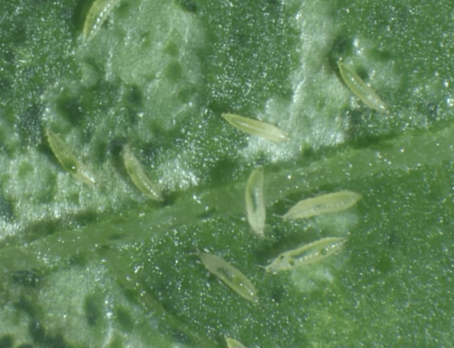 How To Rid Thrips From Your Hydroponic Garden