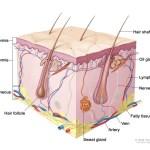skin_anatomy_eczema