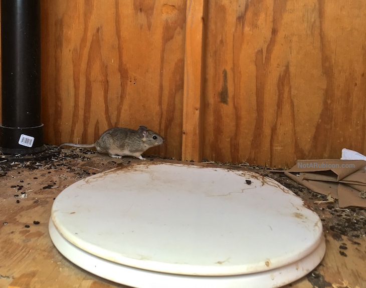 A rat in the out-house